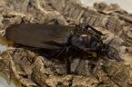 Ostravští a Olomoučtí vědci dovezli z Amazonie největšího brouka světa