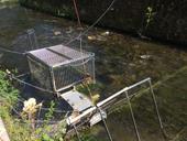 Monitoring migrace lososů (Kamenice, NP České Švýcarsko)<br>Autor: J. Hradecký