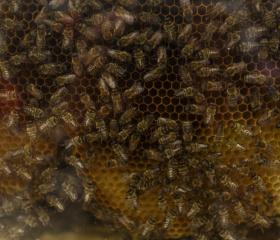 Univerzitní včelstvo