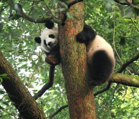 Setkání s pandou velkou.