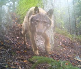 Fotka vlka z Pošumaví z fotopasti.<br>Copyright: Hnutí DUHA