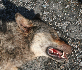 A wolf killed on D1 Highway in the Vysočina Region in spring 2017 illustrates the problems big mammals face in anthropogenically fragmented landscape.