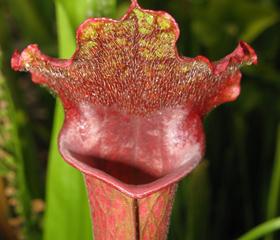 Sarracenia 'Juthatip Soper'