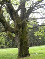 Bohaté populace epifytních mechorostů na kůře stromu