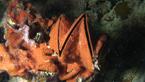 'Cik-cak' ústřice Lopha folium porostlá červenou houbou