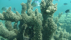 Větvené formy korálů Acropora