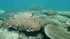 Diskovité formy korálů Acropora