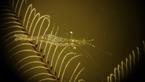 Kreveta Rapipontonia na hydroidnm polypovci