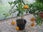 Botanická zahrada Přírodovědecké fakulty vystavovala citrusy