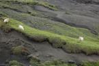 Ovce pasoucí travou prorůstající sopečným popelem, vzdušnou čarou cca 11 km od sopky Eyjafjallajökull (červenec 2010) (5/6)
