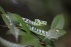 Stromová bičovka - běžný had pralesů Bornea