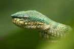 Jedovatý had chřestýšovec